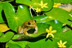 Little Frog Royalty Free Stock Images