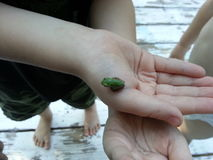 Little Frog in Child's Hand. A tiny frog sitting on a child's hand Stock Image