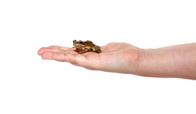 Little frog on a female palm isolated Royalty Free Stock Photography