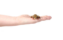 Little frog on a female palm isolated Royalty Free Stock Image