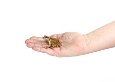 Little frog on a female palm isolated Stock Photography
