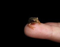 Little frog on finger tip Royalty Free Stock Photography