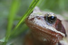 Little frog in the grassfield Stock Photography