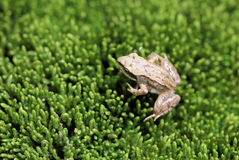 Little frog-let on a fresh green moss texture Royalty Free Stock Photography