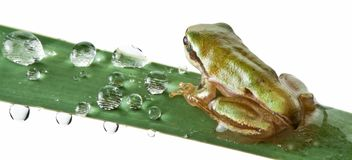 Little frog over rush Royalty Free Stock Image