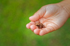 Little frog in the palm of a child learning from nature Stock Photo