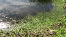 Little frog in a pond with lots of green plants stock video footage