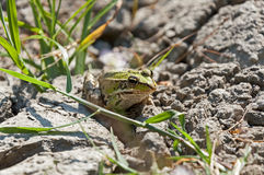 Little frog sitting on the dry ground. And green grass Stock Photos