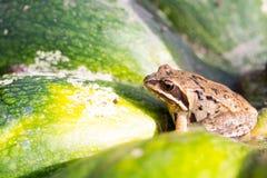 Little frog sitting on a green pumpkin Stock Photo