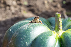 Little frog sitting on a green pumpkin Stock Image