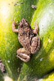 Little frog sitting on a green pumpkin Royalty Free Stock Photos