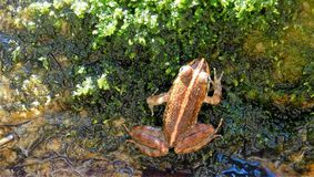 Little frog sitting in a riverbed. A little frog sitting in the riverbed on green moss.  Striped back.  Water Stock Image
