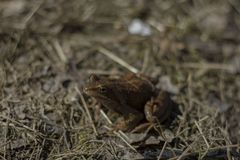 Little frog sunlit on dry grass royalty free stock photography