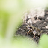 Little frog under green plant leaf Stock Photo