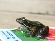 Little frog Stock Image
