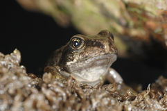 Little frog watching Stock Images