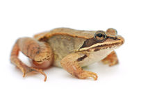 Little frog on white background, wood frog Royalty Free Stock Photos