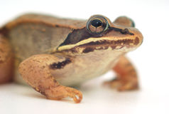 Little frog on white background, wood frog closeup Royalty Free Stock Photography