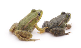 Little frogs. Little frogs on awhite background royalty free stock photos