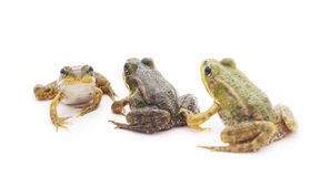 Little frogs. Little frogs on awhite background stock image