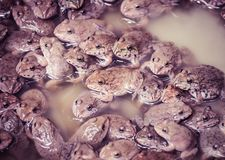 The little Frogs Family in the farm. Close up and selective focus royalty free stock photos