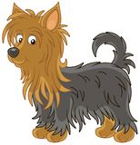 Little funny Australian silky terrier royalty free stock photo