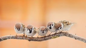 Little funny birds sitting on a branch and looking curiously Royalty Free Stock Photos
