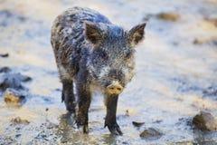 Little funny black wild boar piglet stock photography