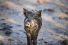 Little funny black wild boar piglet.  royalty free stock photo