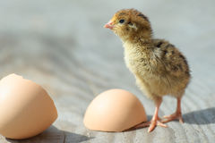 Little funny chick hatched from an egg Royalty Free Stock Image