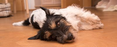 Small funny cute Jack Russell Terrier dog lies on the side on the ground stock photo
