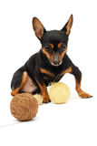 Little funny dog. Little funny  dog. close-up. isolated on white Royalty Free Stock Images