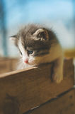 A little funny gray striped kitten with a blue eyes in a wooden Stock Photography