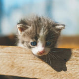 A little funny gray striped kitten with a blue eyes in a wooden Stock Images