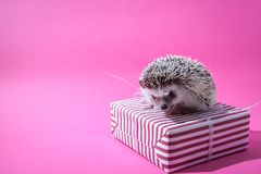 Little hedgehog sits on the present on pink background. Little funny hedgehog sits on the present on pink background Stock Image