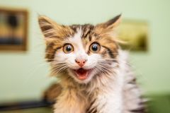 Little funny kitty with big eyes laughing. At home royalty free stock images