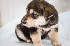 Little funny mongrel puppy with blue eyes royalty free stock photography