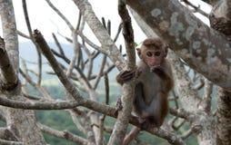 Little funny monkey, Sri Lanka Stock Photos