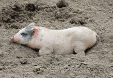 Little funny pig lie in dirt Stock Photography