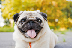 Little funny pug Royalty Free Stock Image