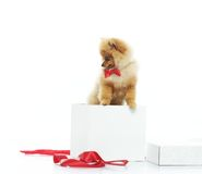 Little funny spitz Stock Photography