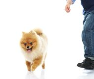 Little funny spitz Royalty Free Stock Photo