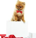 Little funny spitz inside gift box Stock Photo