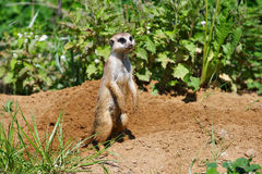 Little funny surikat Stock Photography