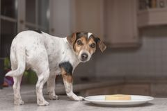 Little funny thieving dog stands on the table and looks around stock images