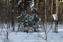 Little fur trees in winter forest Stock Image