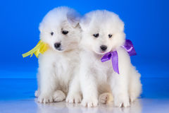 Little furry puppies of Samoyedskaja dog Royalty Free Stock Photos