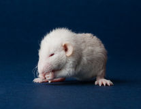 Little furry rat on a blue background Stock Images
