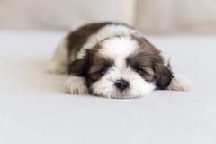 Little furry shih-tzu pup watching you Stock Photo