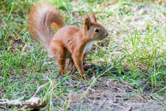Little furry squirrel on grass in the park Stock Images